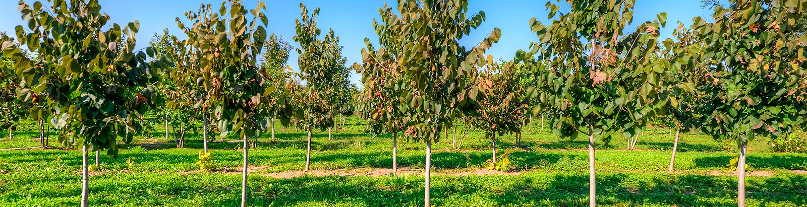 Chicagoland Wholesale Trees